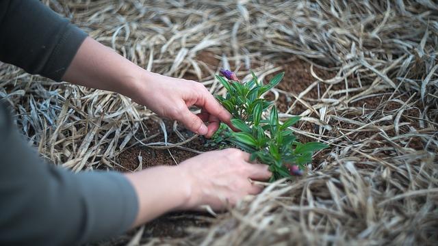 Ruce, sázející rostlinu do záhonu